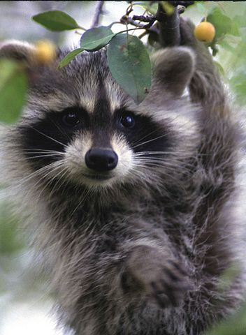 Remove Raccoons From Your Home