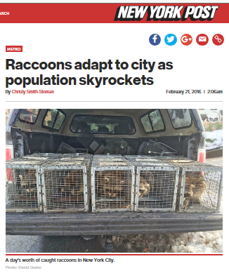Raccoons Adapt To City | Animal Removal | David Quinn